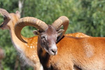 mouflon ram in summer