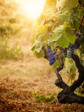 Fototapety Vineyard in autumn harvest