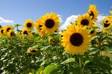 Fototapety Sonnenblumen