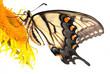 Tiger Swallowtail, Macro