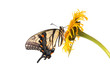Tiger Swallowtail (Papilio glaucus)