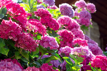 hydrangea luxuriant plant