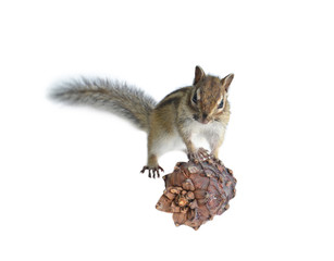the chipmunk eats a cedar seed isolated on a white background