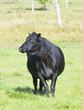 Black Angus Cow