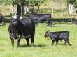 Black Angus Calf and Mother