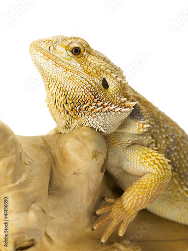 bearded dragon bearded dragon