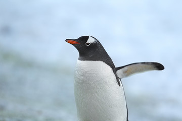 close up image a gentoo penguin