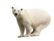 polar bear over white
