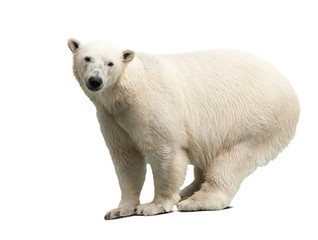 polar bear over white