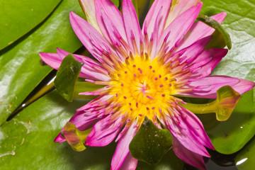 Pink nang kwang water lily