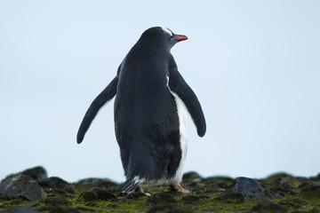 rare view of a standing gentoo penguin