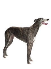 sideways standing greyhound