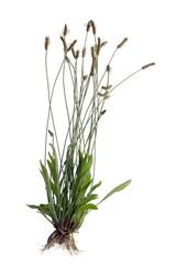 plantain lanceolate herb