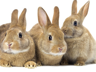 three brown bunny rabbit