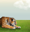 tiger sleep under the sky with cloud on grass floor