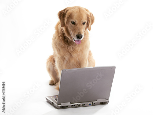 working golden retriever