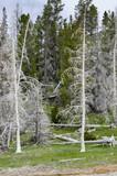 alberi bruciati dai Geyser nello Yellowstone poster