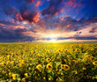 Sunset over sunflowers field