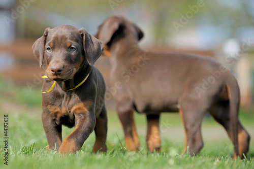 canvas print picture Dobermann