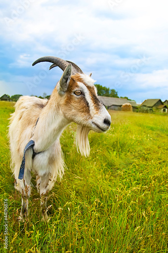 brown and white goat in th field