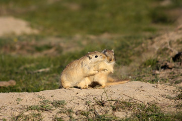 Amorous games of rodents