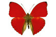 red butterfly (Cymothoe sangaris)
