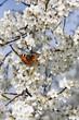 Schmetterling auf Kirschblüte vertikal