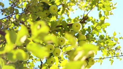 Apple Tree - fresh green full with fruits in the wind