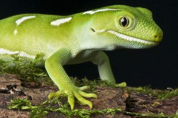Green gecko / Naultinus elegans elegans
