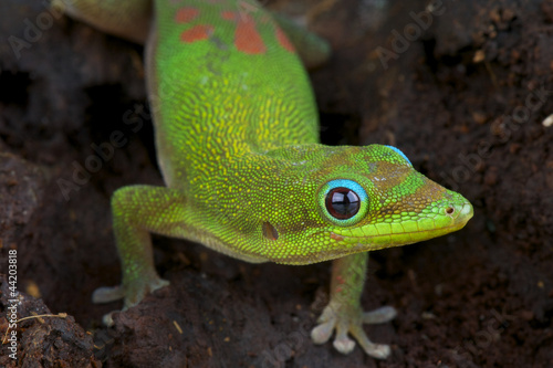 Gold dust day gecko / Phelsuma laticauda