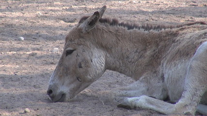 A very cute donkey relaxing