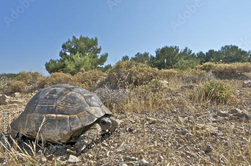 Greek tortoise / Testudo graeca ibera
