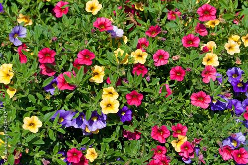 petunien petunia von m schuppich lizenzfreies foto 44205412 auf. Black Bedroom Furniture Sets. Home Design Ideas