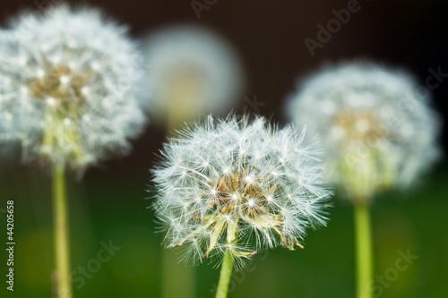 Dandelions - 44205658