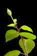 Hibiscus branch with leaves and buds on the black background