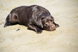 young chocolate labrador retriever lying on sand of sea coast