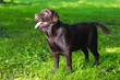 young chocolate labrador retriever standing on green grass