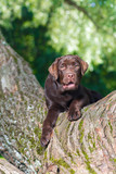 young chocolate labrador retriever sitting on a tree in park