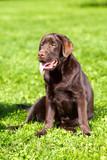 young chocolate labrador retriever sitting on green grass