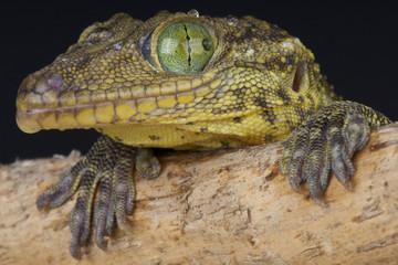 Green-eyed gecko / Gekko smithii