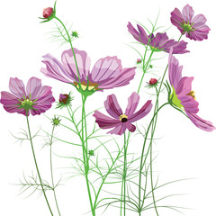Vector garden flowers, Cosmos bipinnatus