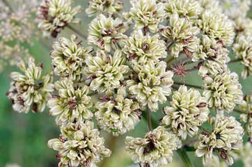 A Macro shot of Wild Irish Flowers