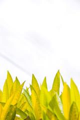 Closeup of Croton Leaf. Tropical Plant.