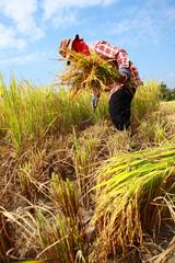 Farmer havesting rice