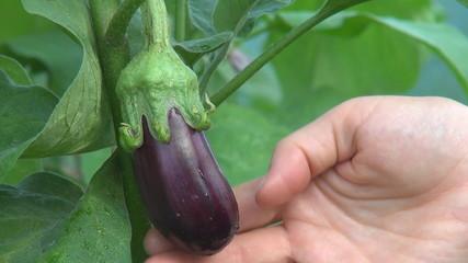 Farmer examin aubergine, eggplant