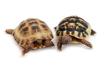 Russian tortoise and Hermann's tortoise on white
