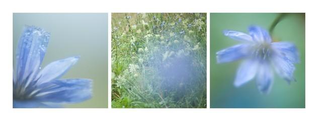 kwiat cykoria niebieski błękitny płatki zbliżenie makro