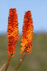 Aloe Rosettes