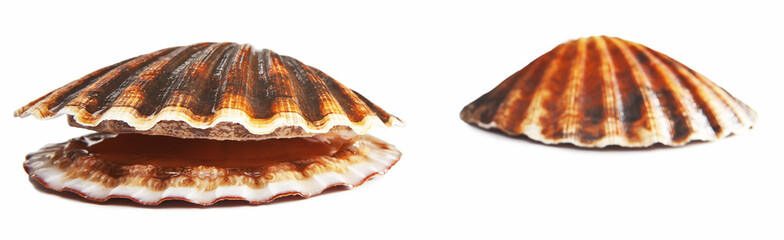 Isolated on white alive scallop