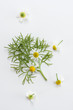 Fresh chamomile leaves and flowers